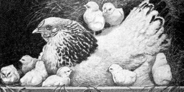 Settin Hens
