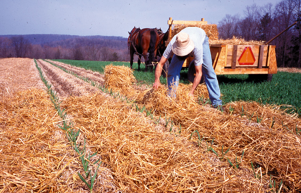Cultivating Questions No-Till Garlic