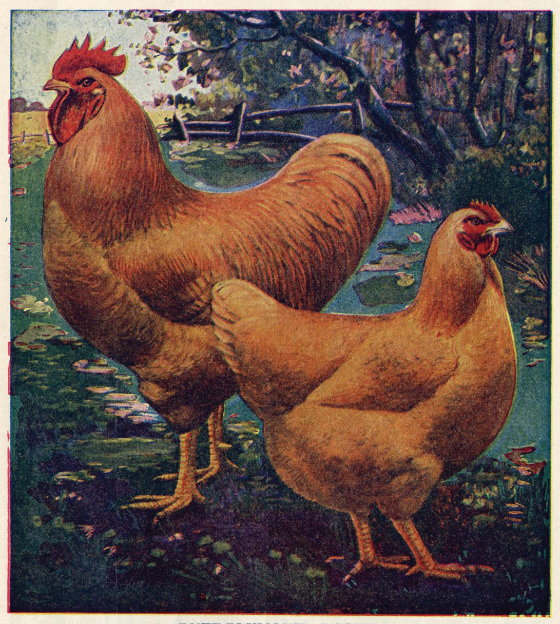 Chicken Money