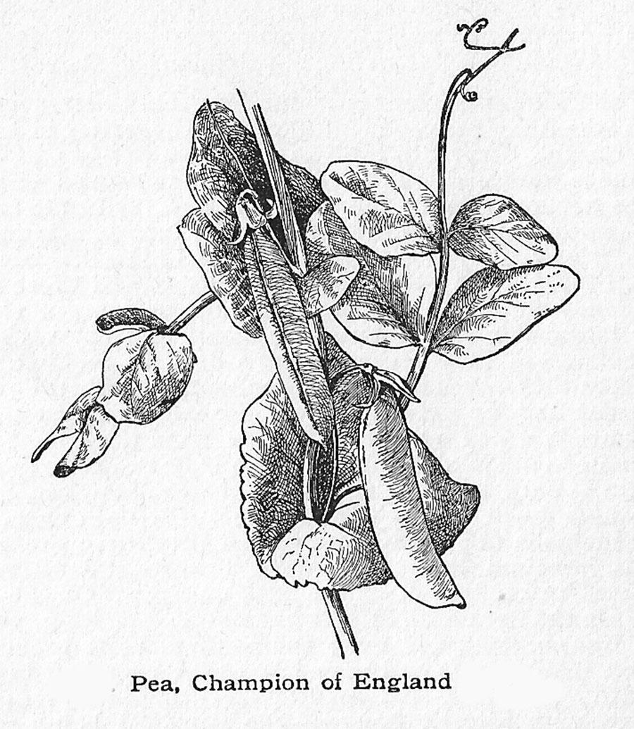 The Garden Pea