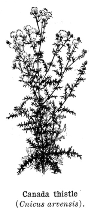 Cultivating Questions Canada Thistle