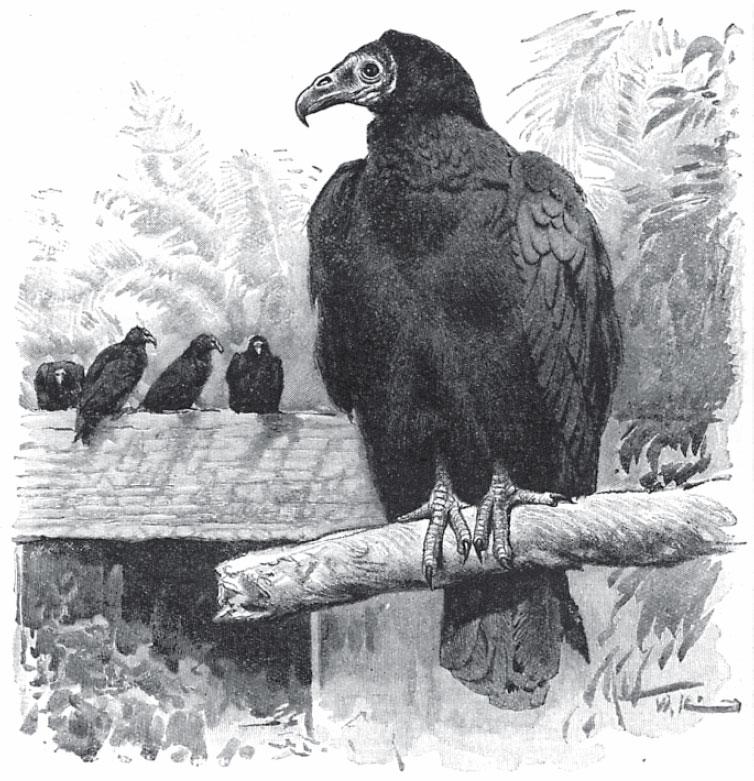 The Turkey Vulture Natures Forgotten Environmentalist