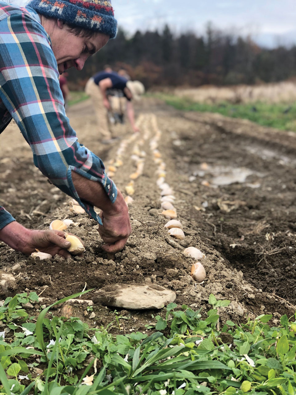 6 Mistakes to Avoid When Planting Garlic