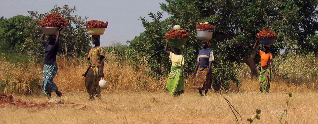 Red Sorghum in Cameroun