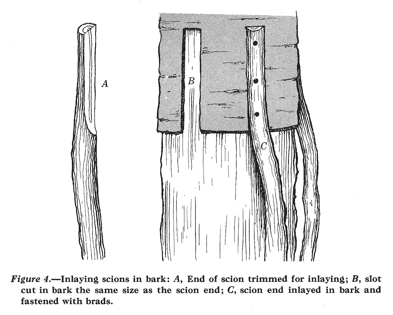 Bridge Grafting and Inarching Damaged Fruit Trees