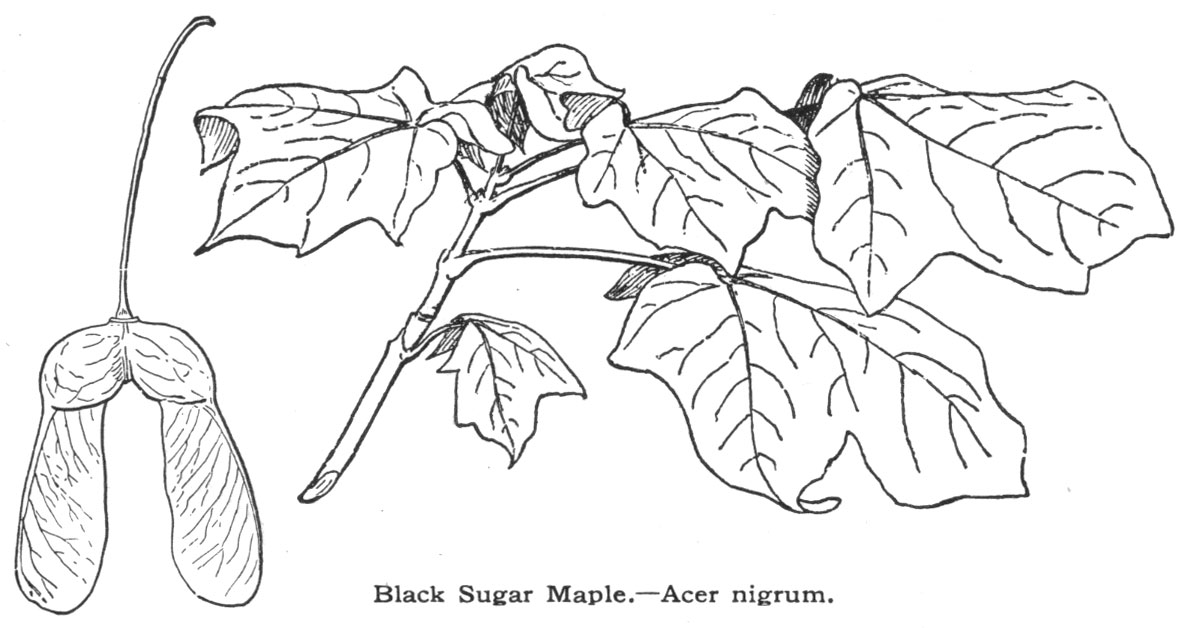 The Production of Maple Sirup and Sugar in New York State