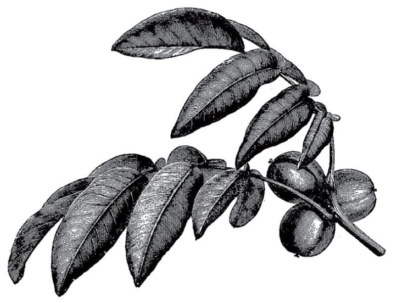 Black Walnut The Multi-Purpose All American Tree