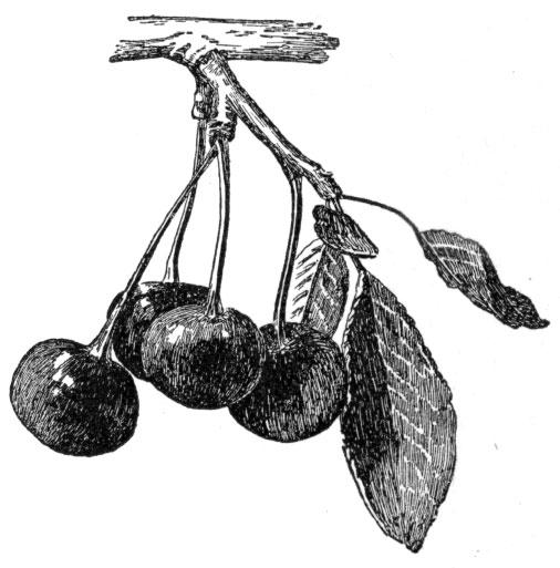 Cherries 1903