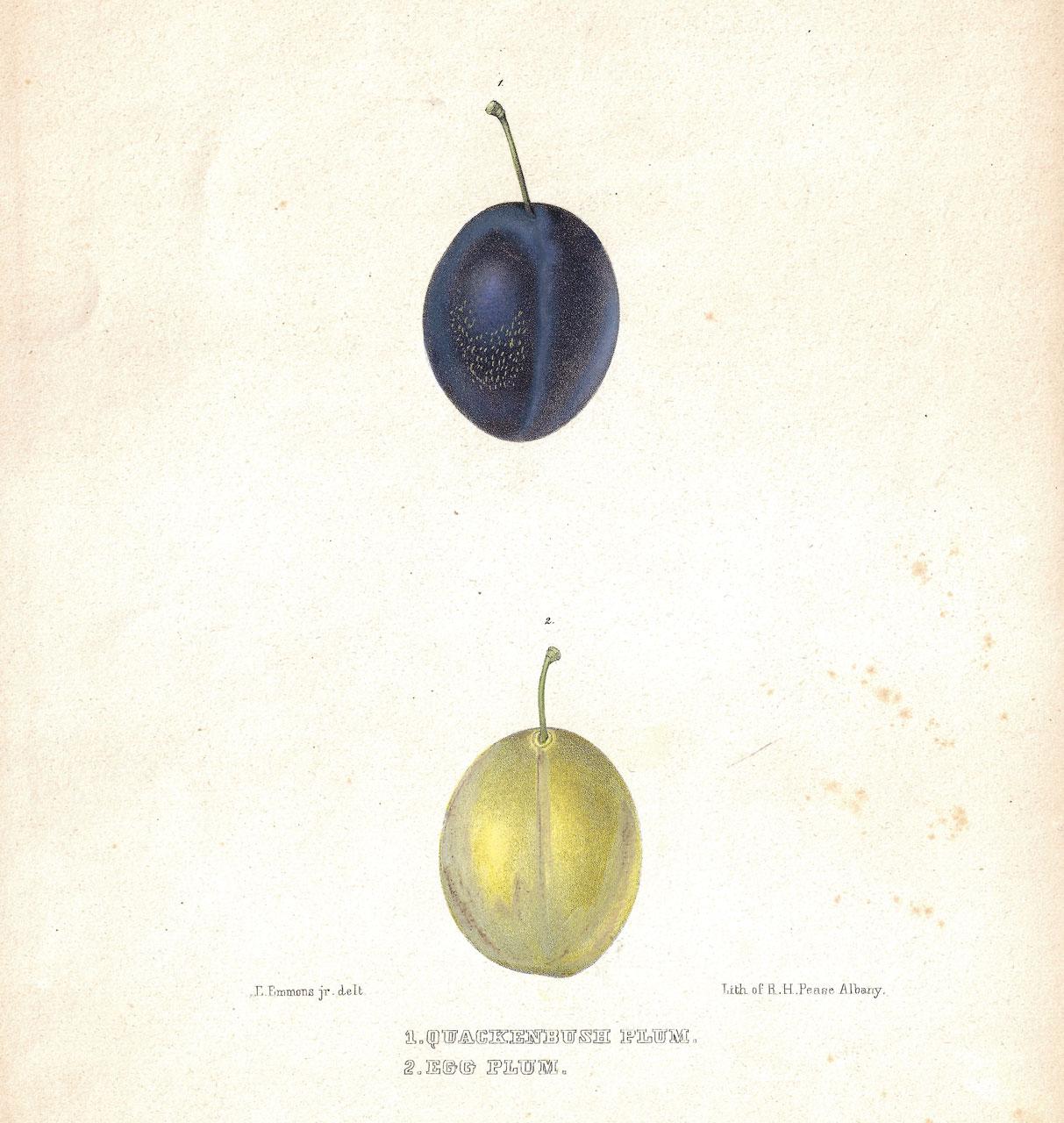 Gilliflower, Quackenbush and Egg