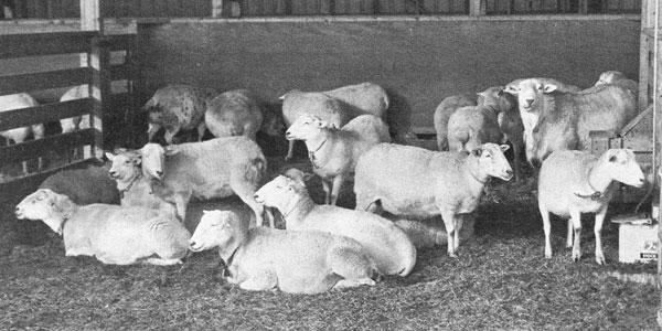 The Katahdin A Woolless Breed of Sheep