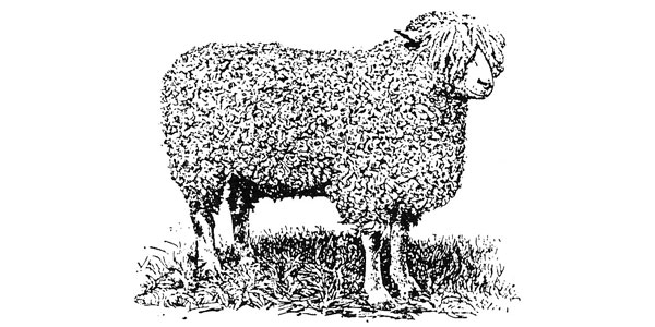 Why Not Sheep